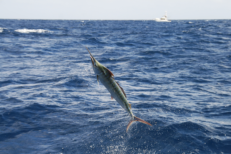 juvenile black marlin fishing